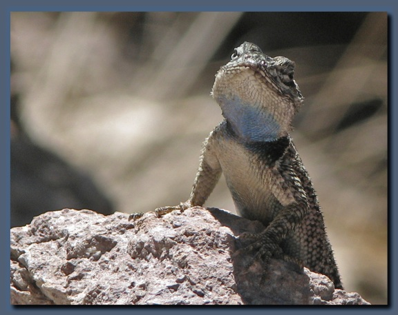 Yarrow s spiny lizard