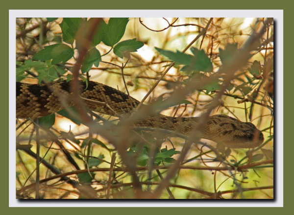 Blacktailed rattlesnake edited 2