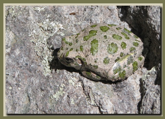 Good camo canyon tree frog