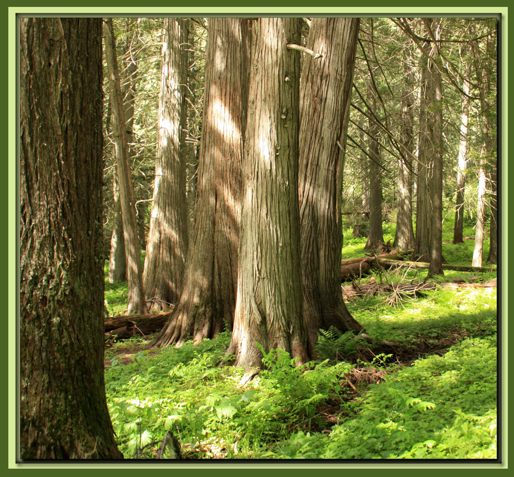 Red Cedar Forest ~ Clearwater nf idaho two hikes outindewoods