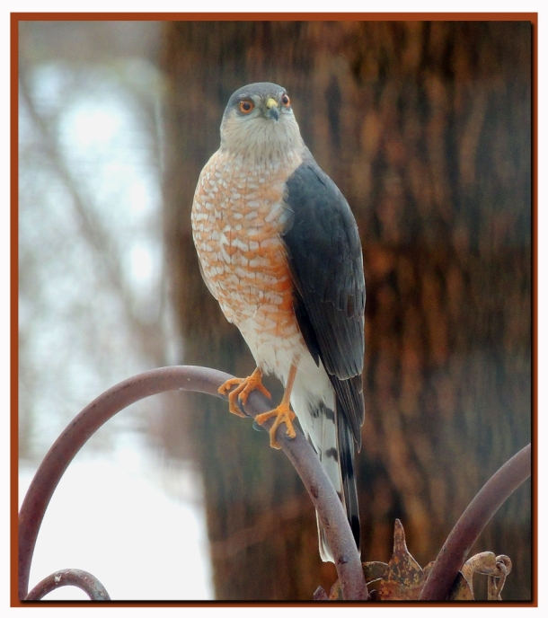 Coopers Hawk - Hunting Doves and preparing a nest nearby.