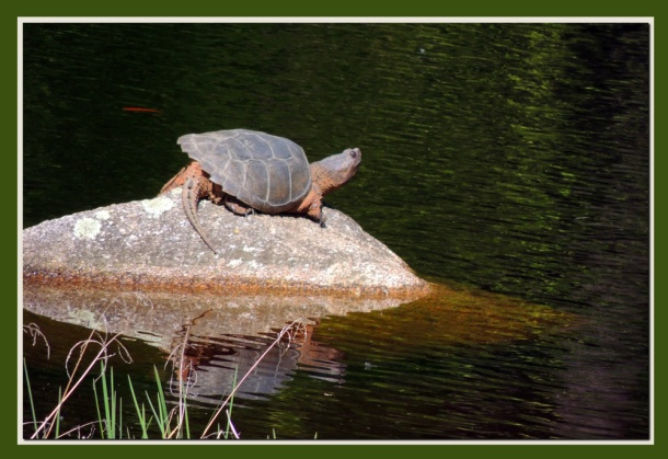 Snapping Turtle in a local pond.