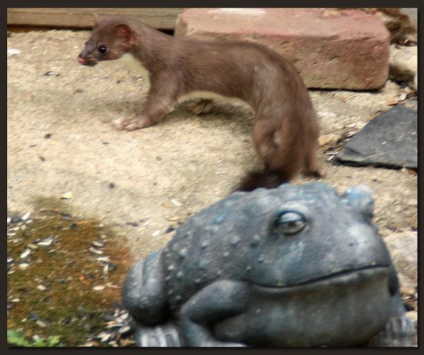 Weasel.