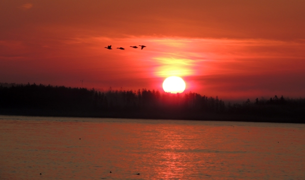 Geese at Sunrise - Seawall, Acadia National Park