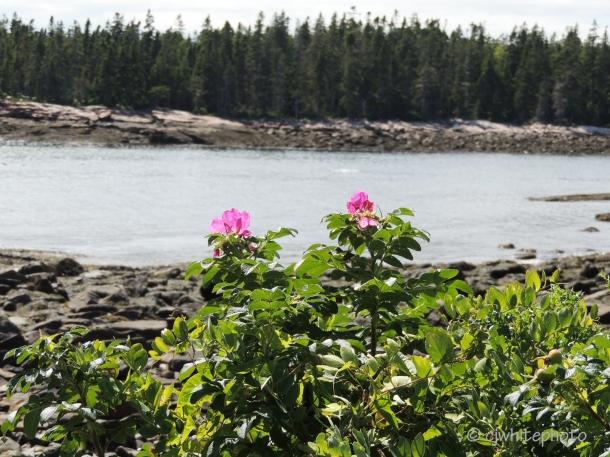 Beach Roses on the Wonderland Trail.