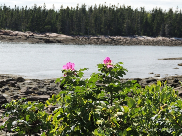 Beach Roses on the Wonderland Trail.
