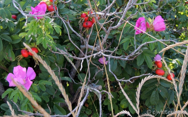 Beach Roses / Rose Hips.