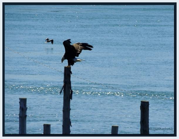 DSCN0750-eagle landing