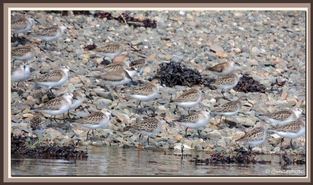 A plover and his friends (sandpipers)