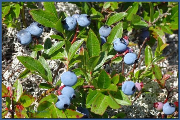 Wild NH Blueberries